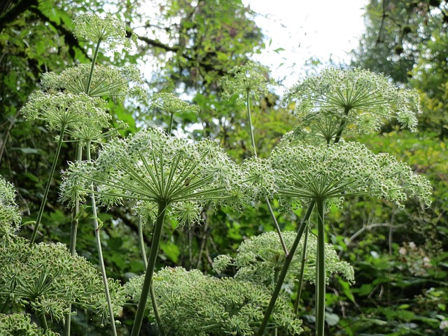 angelica-sylvestris-848771_640